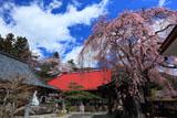 洞雲寺の江戸彼岸桜と庫裡