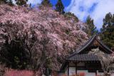 洞雲寺の江戸彼岸桜と御堂