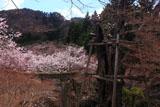 北原金峰山の桜