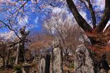 北原金峰山のサクラ