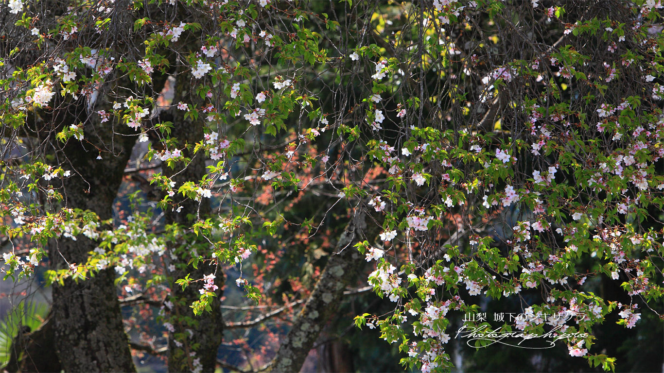 城下の四季桜 壁紙