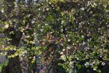 城下の四季桜