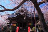 吉祥寺の新羅桜と毘沙門堂