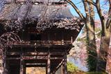 甲州市 景徳院の桜