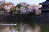 松本城内堀の白鳥と桜