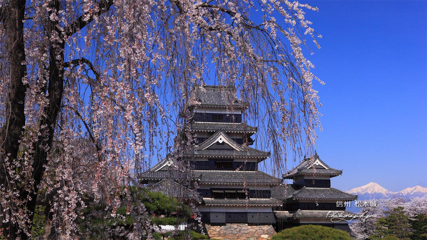 枝垂れ桜と松本城天守 壁紙