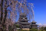 枝垂れ桜と松本城天守