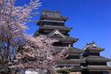 染井吉野と松本城天守