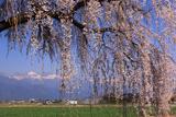 島内高松のしだれ桜