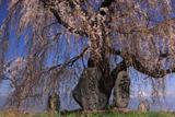 島内高松のシダレザクラ