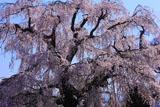 本村の大枝垂れ桜
