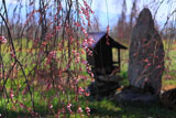 梓川北条のしだれ桜 北側の枝垂桜