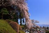 盛泉寺のしだれ桜
