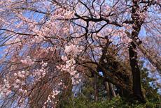 舟つなぎ桜
