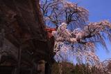 真光寺のしだれ桜