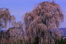 田多井観音寺跡のしだれ桜
