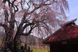 田多井観音堂のしだれ桜