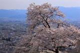 アルプス公園の桜 ソメイヨシノと松本平