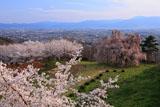 泉小太郎のしだれ桜