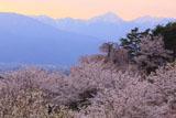 アルプス公園の桜 常念岳
