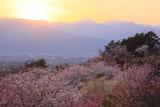 アルプス公園の桜
