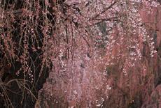 南小倉のシダレヒガンの巨木