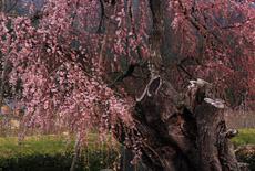 大室のシダレヒガンの巨木
