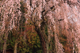 梓川釈迦堂の枝垂れ桜
