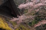 咲きはじめの朝日将軍木曽義仲公手植桜