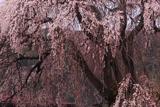 朝日村中央公民館の桜