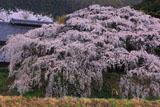 宮の原のしだれ桜