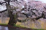 宮の原の枝垂れ桜