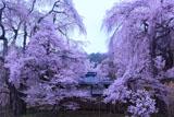 勝間薬師堂の枝垂れ桜
