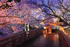 信州上伊那の桜