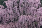 氏乗の枝垂桜