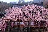 興禅寺のしだれ桜と本堂