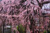 本堂からの興禅寺のしだれ桜