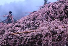 興禅寺のしだれ桜