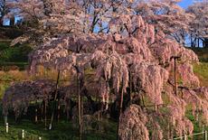 三春町の桜