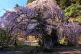 大隣寺のしだれ桜