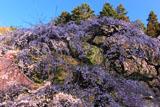 大隣寺の枝垂れ桜