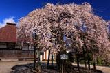 円東寺のシダレザクラ