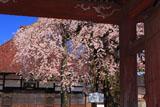 円東寺の糸ザクラ