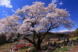 山ノ入の桜