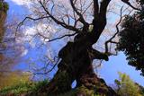 芹沢の千年桜