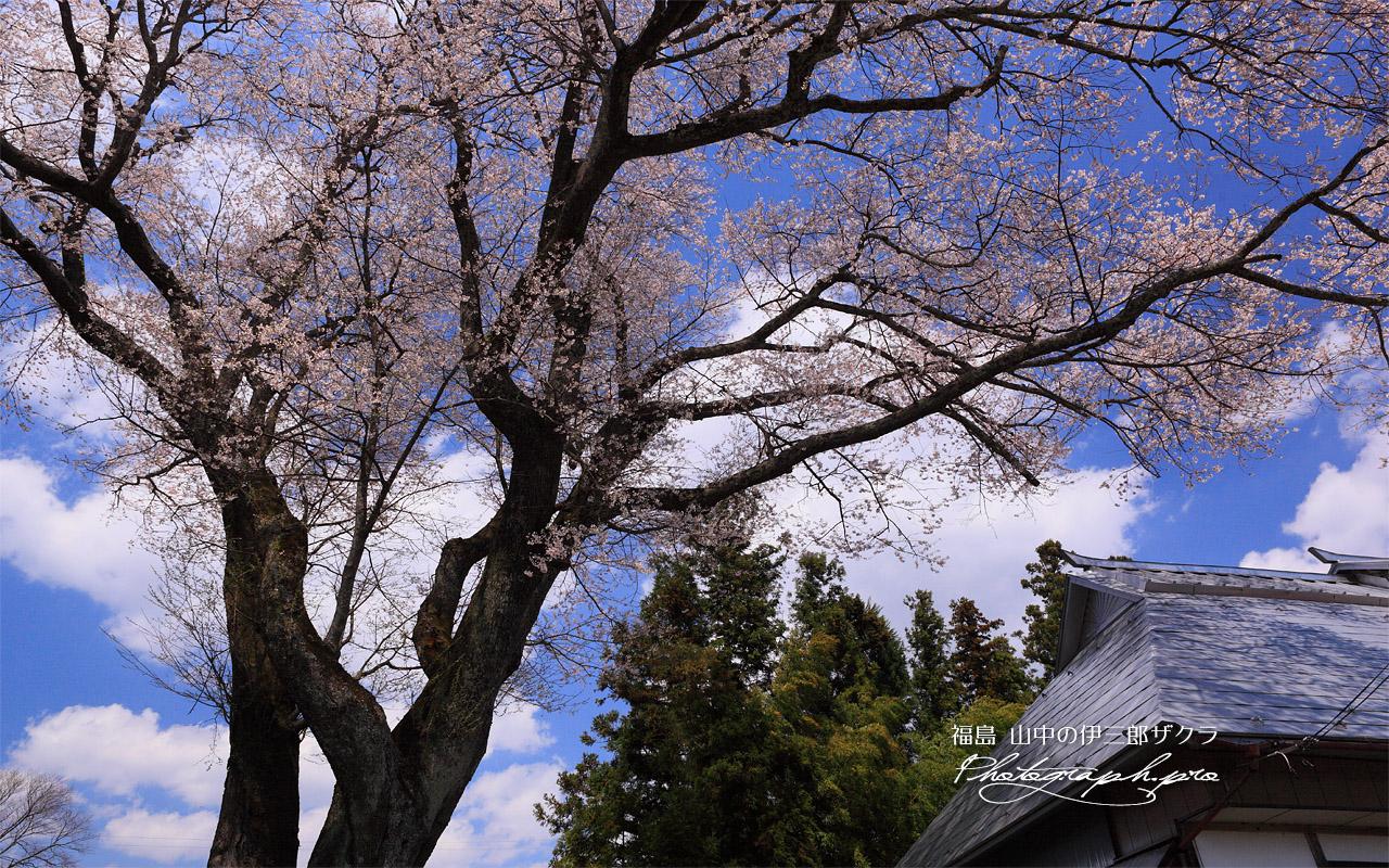 山中の伊三郎桜 壁紙