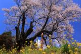 祭田のサクラ 菜の花咲く斜面
