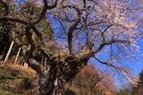 桃前の江戸彼岸桜
