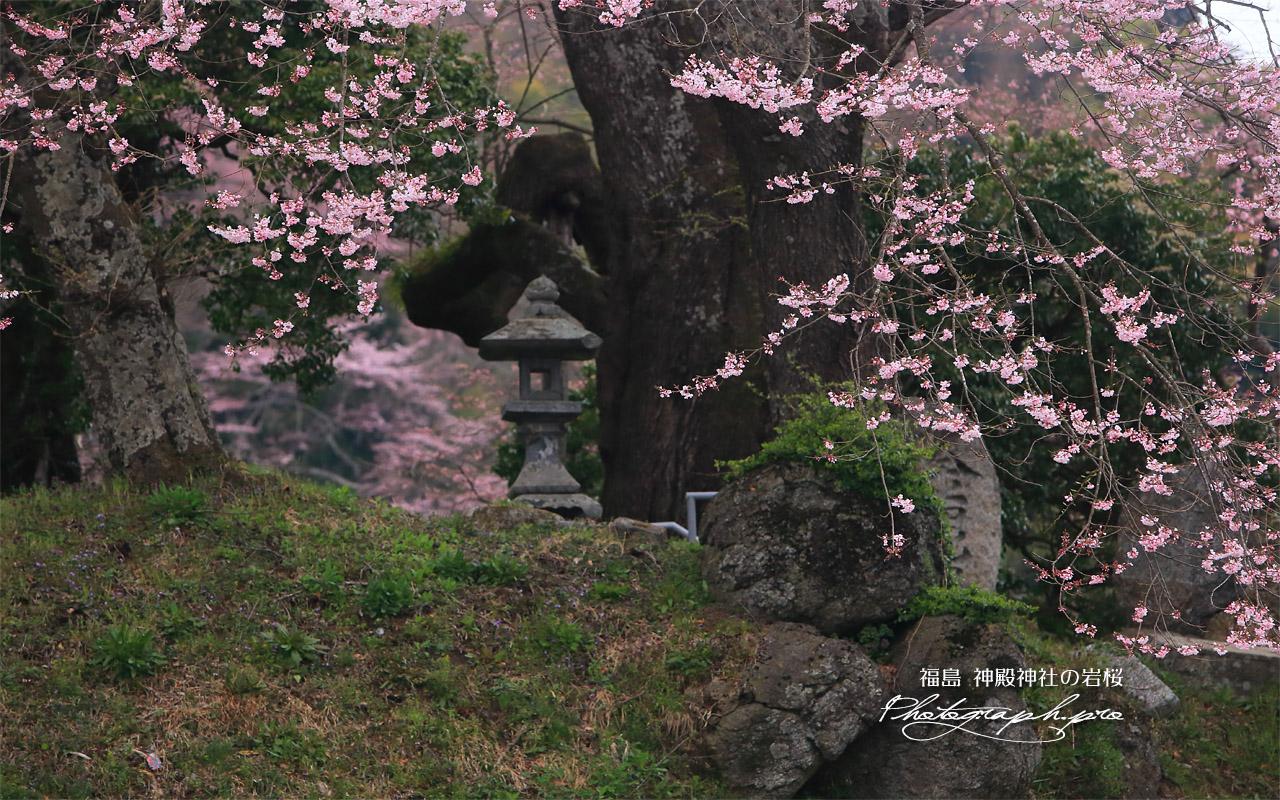新殿神社の岩桜 壁紙