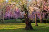榴岡公園の枝垂れ桜
